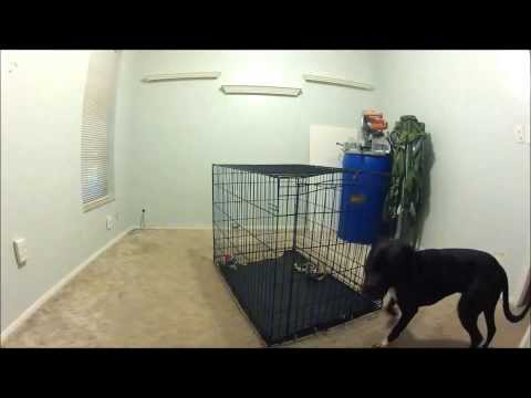Pit Bull Escapes Crate Every Time