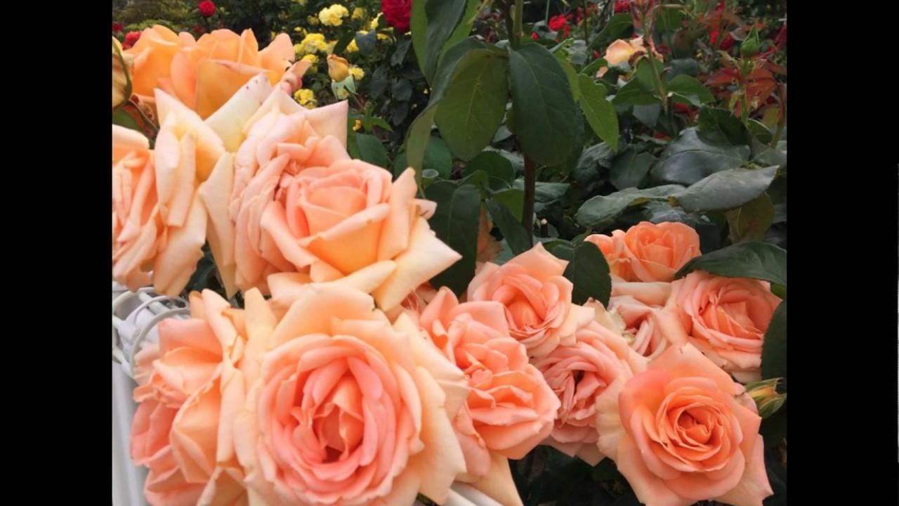 Resultado de imagem para muitas rosas lindas