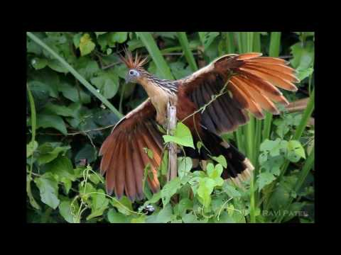 Interesting Facts about Hoatzin