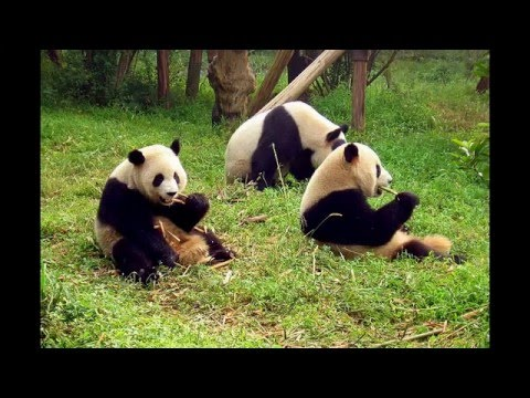 The Giant Panda Breeding Research Base in ChengDu
