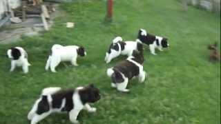 American-akita Puppies Playing