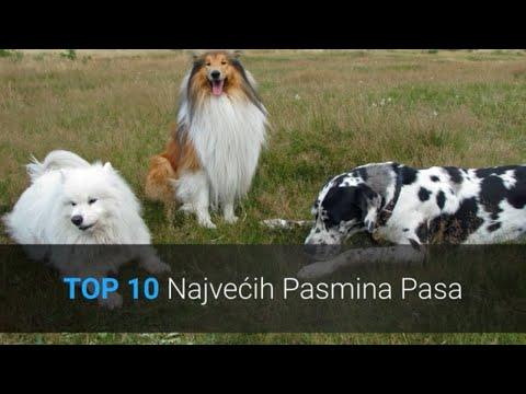 Najveći Psi Na Svijetu - Top 10 Najvećih Pasmina Pasa