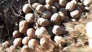 видео Уборка и хранение картофеля