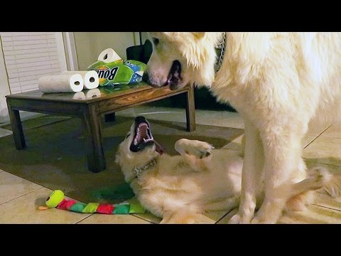 Super Cooper Sunday #22  Puppy Play Time, New Bowtie, Egg Meal, more!
