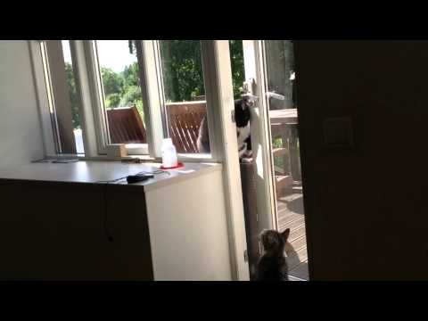 Cat opening a terrace door for other cat
