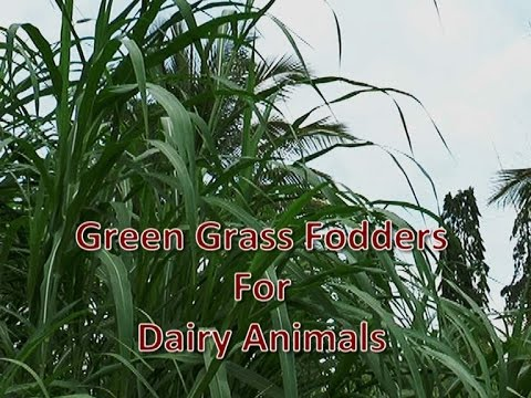 Green Grasses for Dairy Animals