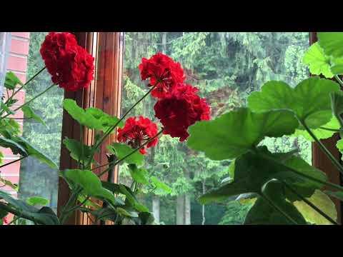 Начало лета / мои любимые комнатные цветы