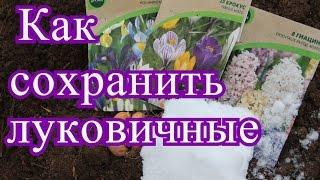 Как сохранить луковичные. | How to Save Tulip Bulbs. (06.11.2016 г.)