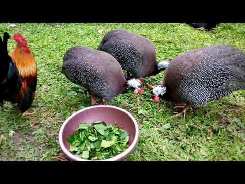 Beda ayam mutiara jantan dan betina