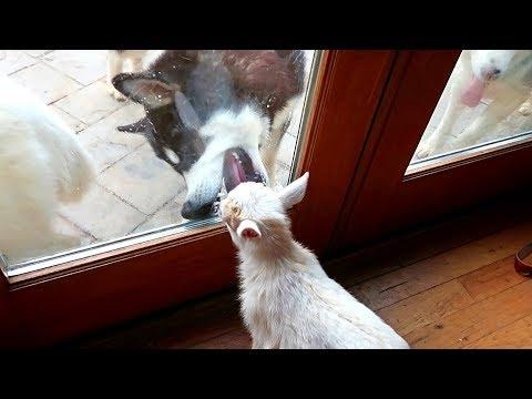 Malamute React to a Baby Goat