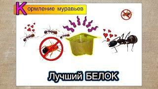 Лучший белок для муравьев ● Кормление, тараканы больше не нужны