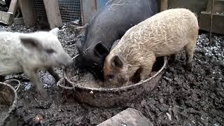 LifeStyle: Питание свиней, и поезда в город.