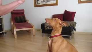 Our 4 month old Pharaoh Hound dog Rufus smiling on command. see MOR...