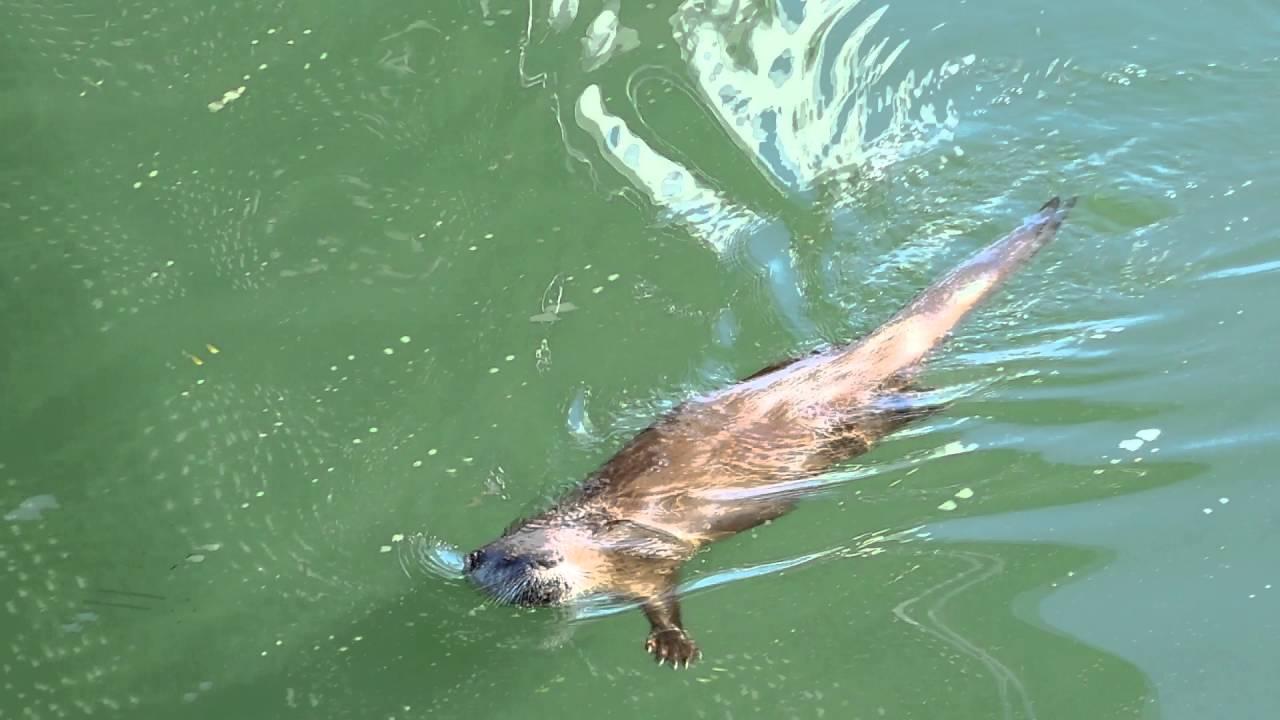 c628dbeca River Otter Swimming - YouTube