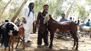 High Classic Sahiwal Goats - Beetal Bakriyan Aur Breeder Bakray Sahiwal Bakra Ma