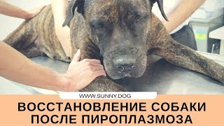 Восстановление собаки после пироплазмоза. Пироплазмоз - реабилитация