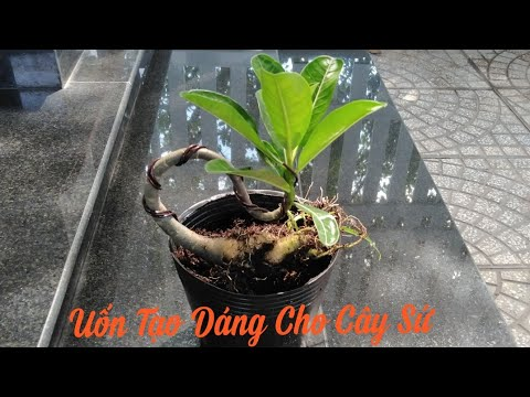 🌺Uốn Cây Sứ | shaping the tree Adenium