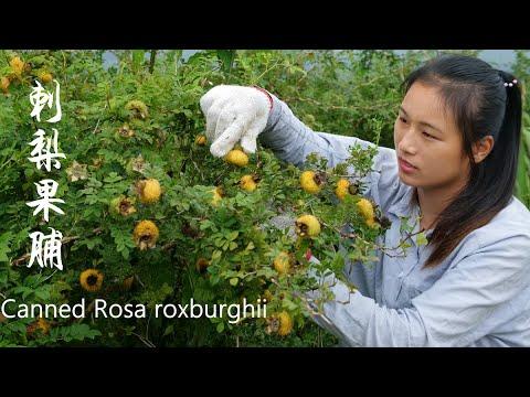 纯野生的金黄色刺梨果,是做罐头和果脯的天然食材 Canned Rosa Roxbunghii