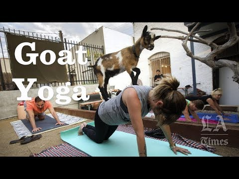 Fun Yoga With Baby Goats | Los Angeles Times