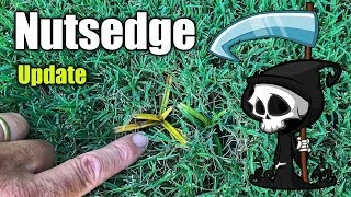 Killing Nutsedge in Lawns - Updated Results