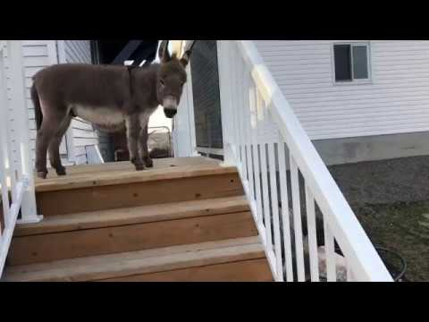 Tiny Tim The Donkey Goes Down The Big Stairs