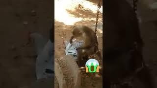 Спаривание обезьян