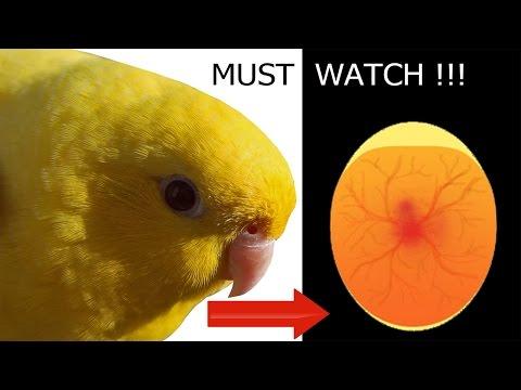 Love Bird Mating & Laying Eggs  Breeding Amazing Video