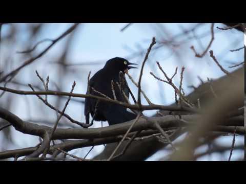 Grand River Ohio - Rusty Blackbird calling behind me 04012017