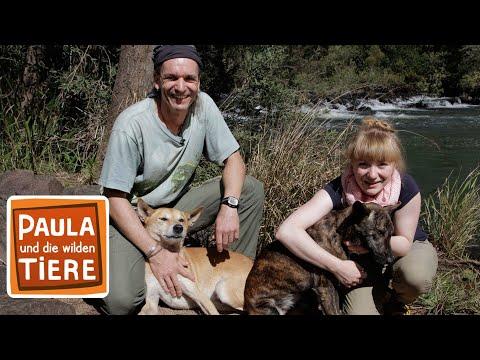 Wer ist der oberste Dingo? (Doku)   Reportage für Kinder   Paula und die wilden Tiere