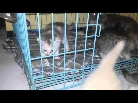 Kucing Domestik Mix Persia Doovi