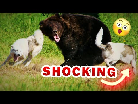 Top 10 Bear hunting dogs you didn't know before