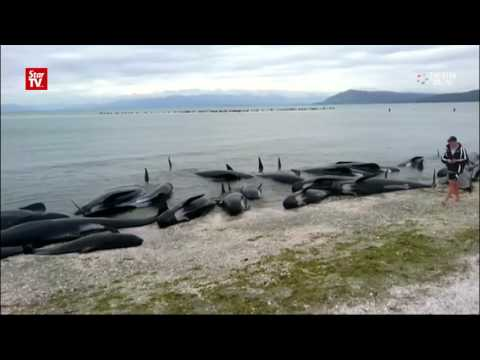 Rescuers race to save stranded whales in New Zealand