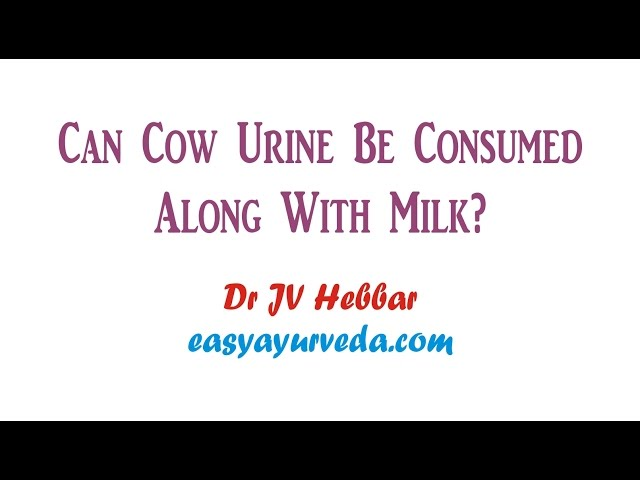 Cow Urine Therapy Benefits, Research, Precautions | Easy