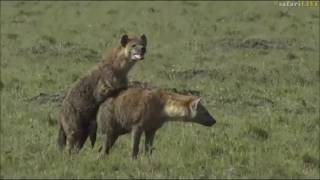 Safari Live : A very rare sighting of mating Hyenas in the Masai Mara with Scott June 27, 2017