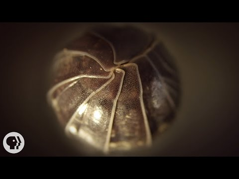 Roly Polies Came From the Sea to Conquer the Earth | Deep Look