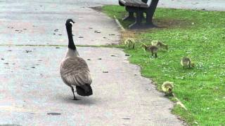 Canada goose mother signalling to her goslings