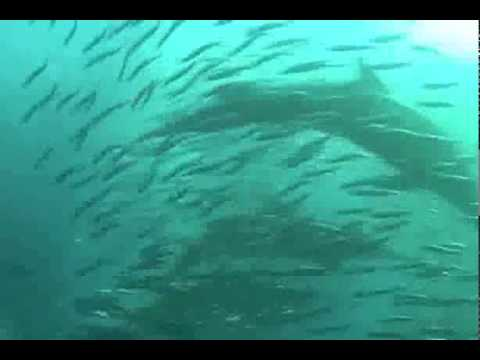 Offshore Africa Port St. Johns Sardine Run