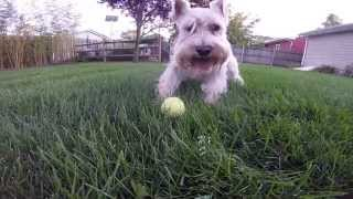 Gopro: Playing Ball With A White Miniature Schnauzer Puppy Dog