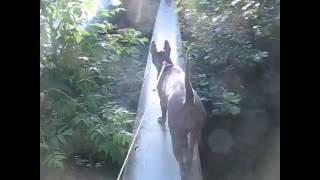 Тайский риджбек  Тая  экстремал высота переход по трубе