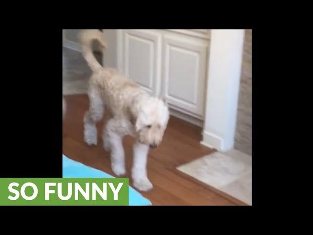"Dog totally mocks teenager's broken leg ""walk"""