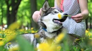 Собака ест одуванчики кайфуя на травке
