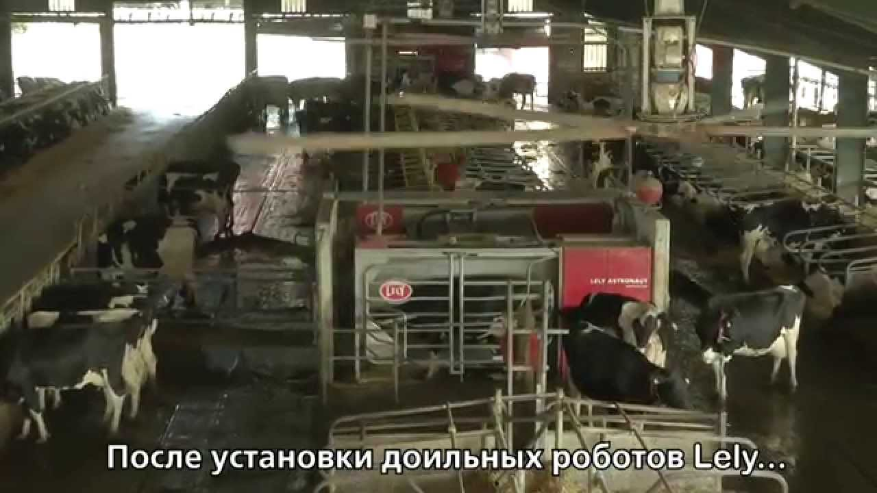 Lely Astronaut A3 - Large dairy in Spain (Russian / Spain)