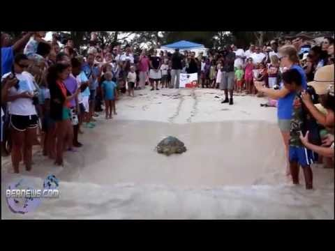 Fripper Turtle Release, Aug 14 2012