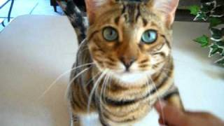 Boo the trained Bengal cat .. no clicker needed