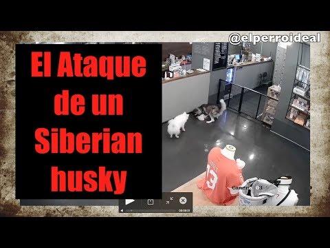 Por que un Siberian Husky Ataca a un Caniche