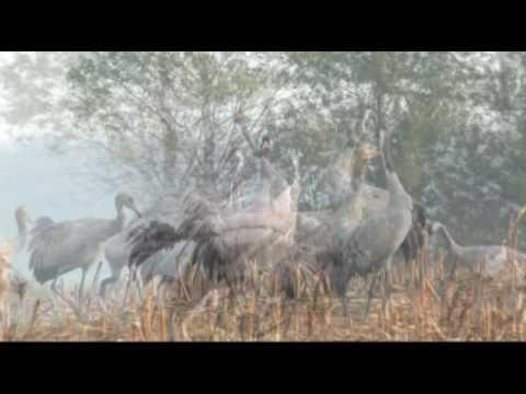 Kraanvogels in Nord