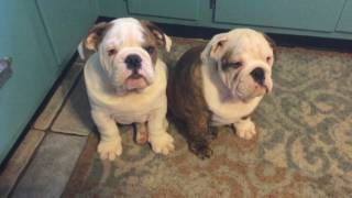 Elvis and Priscilla the English Bulldogs puppies have a case of the Hiccups