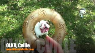 "2 Year Old English Bulldog ""chuck"" Before/after Video 