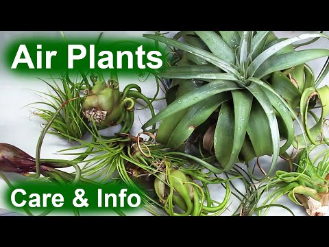 Air Plants (Tillandsia) - Info & Care - YouTube
