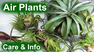 Air Plants (Tillandsia) - Info & Care
